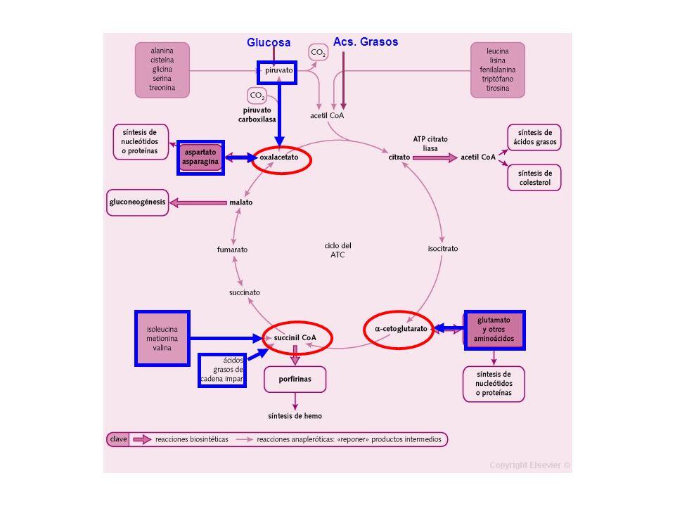 Glucosa Acs. Grasos. Es la vía de oxidación de la mayor parte de carbohidratos, ácidos grasos y aminoácidos.