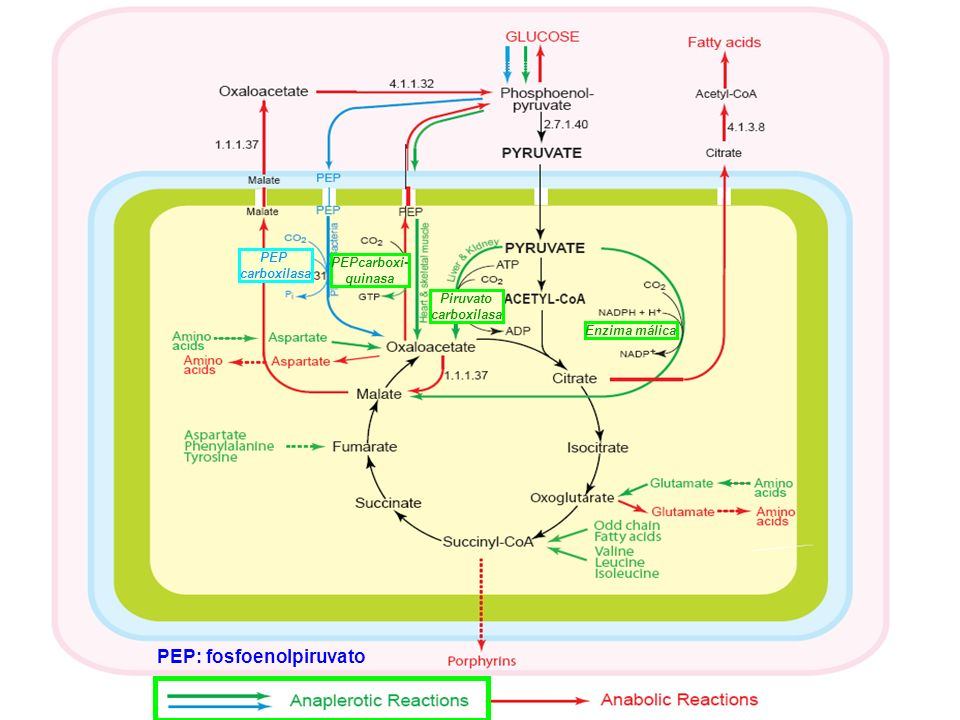 PEP: fosfoenolpiruvato
