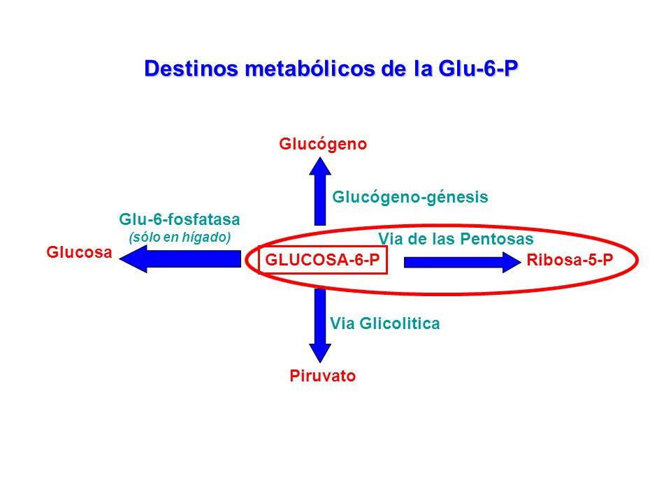 Destinos metabólicos de la Glu-6-P