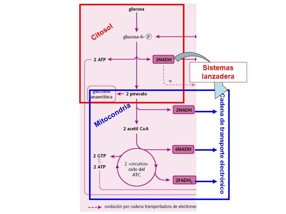 Citosol Sistemas lanzadera Mitocondria
