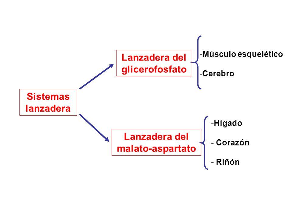 Lanzadera del glicerofosfato Lanzadera del malato-aspartato