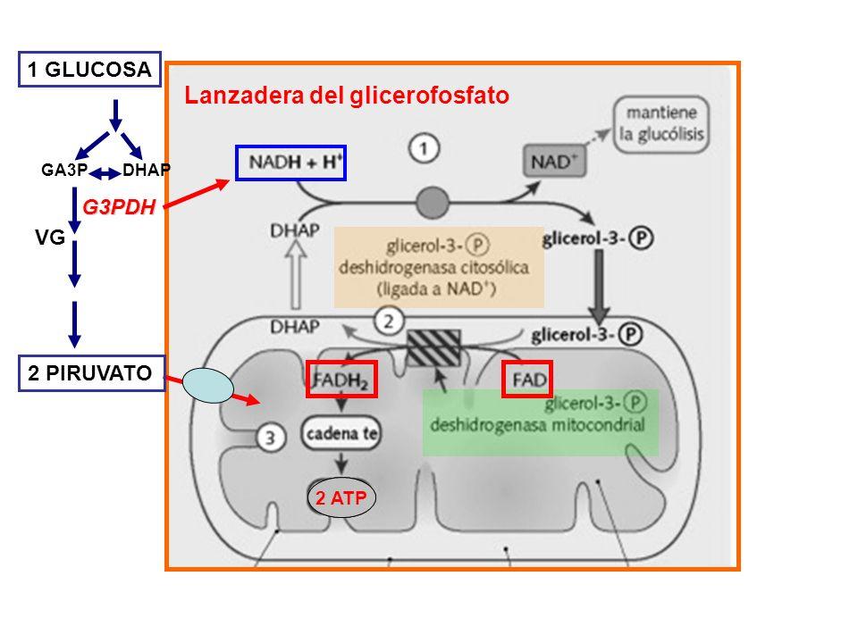 Lanzadera del glicerofosfato