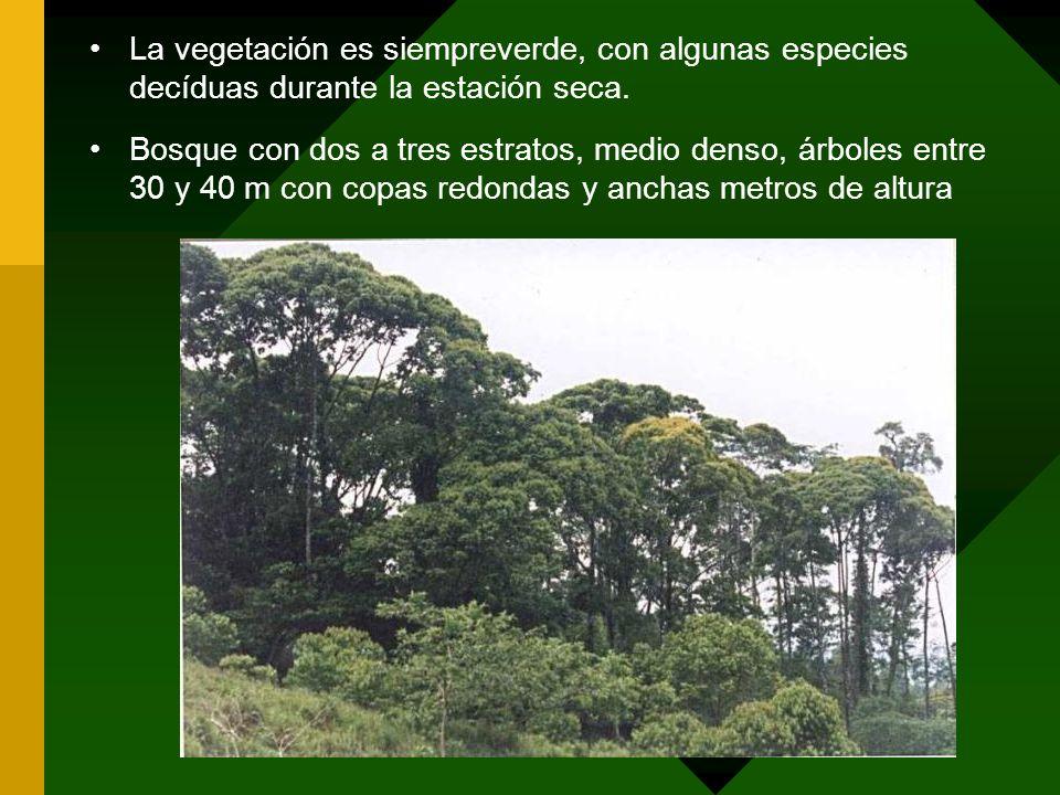 La vegetación es siempreverde, con algunas especies decíduas durante la estación seca.