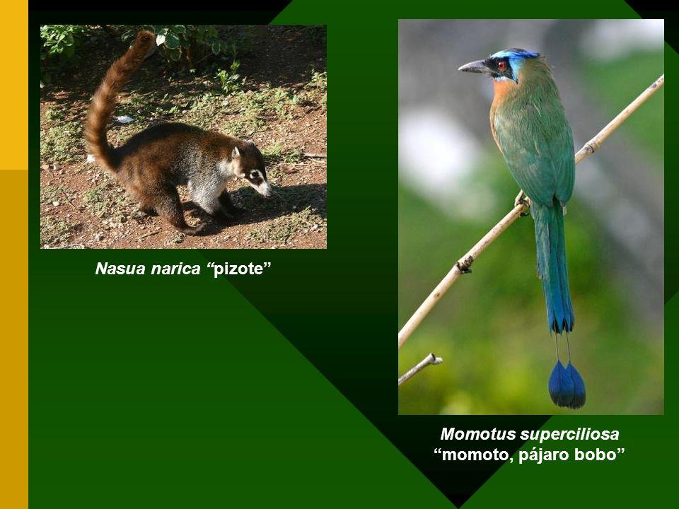 Momotus superciliosa momoto, pájaro bobo