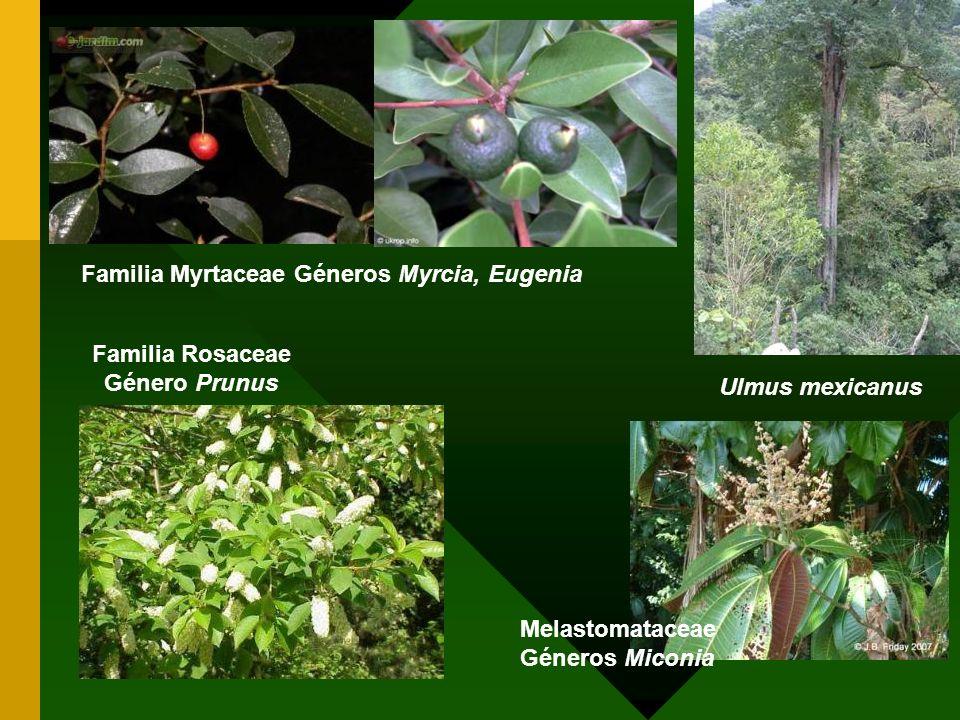 Familia Rosaceae Género Prunus