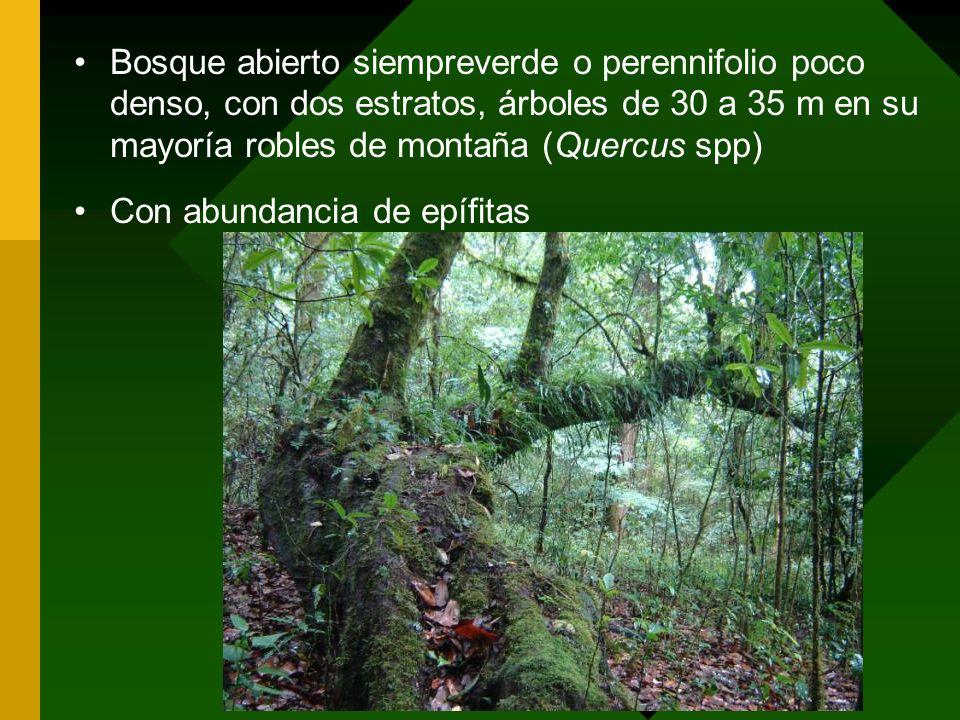 Bosque abierto siempreverde o perennifolio poco denso, con dos estratos, árboles de 30 a 35 m en su mayoría robles de montaña (Quercus spp)