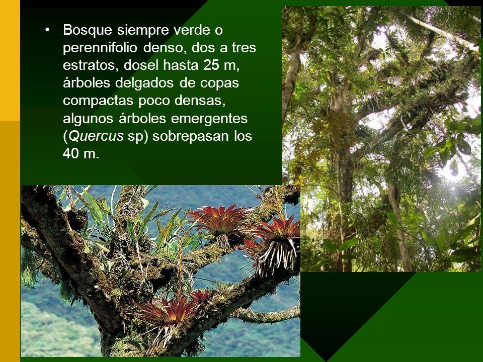 Bosque siempre verde o perennifolio denso, dos a tres estratos, dosel hasta 25 m, árboles delgados de copas compactas poco densas, algunos árboles emergentes (Quercus sp) sobrepasan los 40 m.