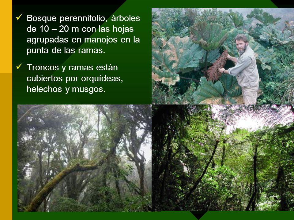 Bosque perennifolio, árboles de 10 – 20 m con las hojas agrupadas en manojos en la punta de las ramas.