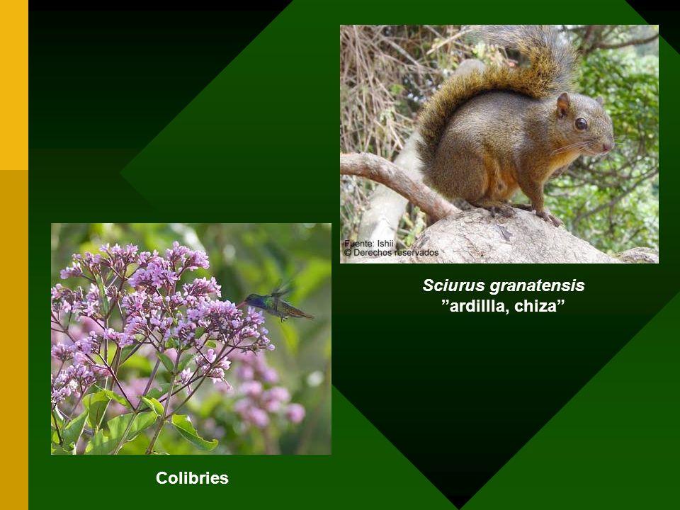 Sciurus granatensis ardillla, chiza Colibries