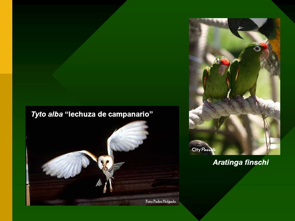 Tyto alba lechuza de campanario