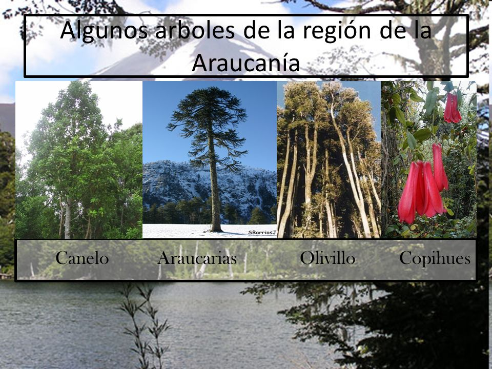 Algunos arboles de la región de la Araucanía