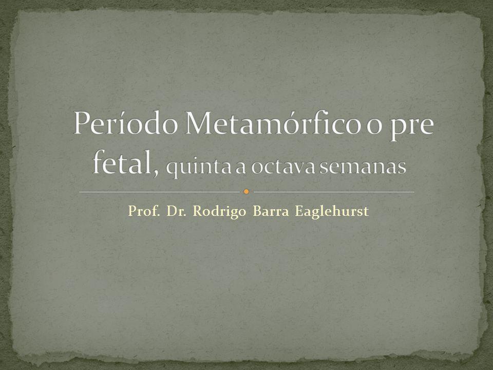Período Metamórfico o pre fetal, quinta a octava semanas