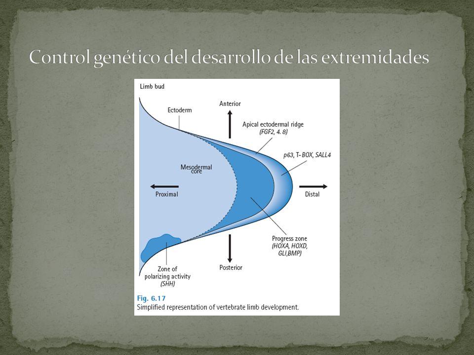 Control genético del desarrollo de las extremidades