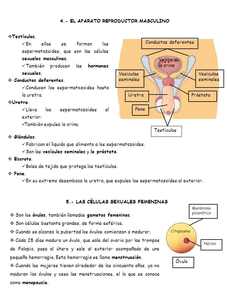 4.- EL APARATO REPRODUCTOR MASCULINO