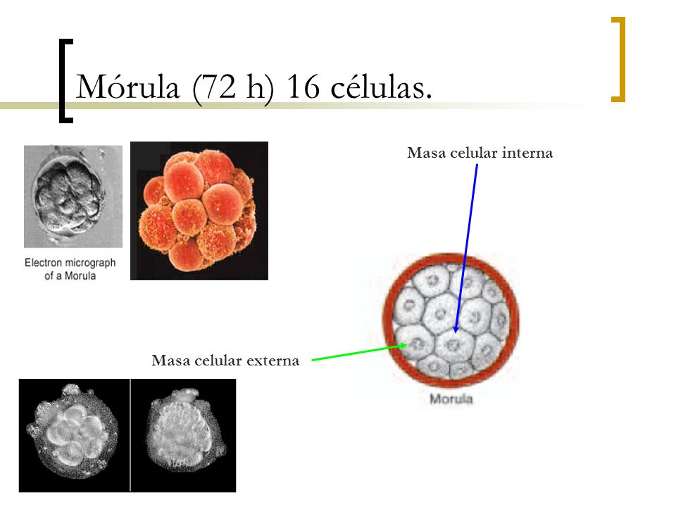 Mórula (72 h) 16 células. Masa celular interna Masa celular externa