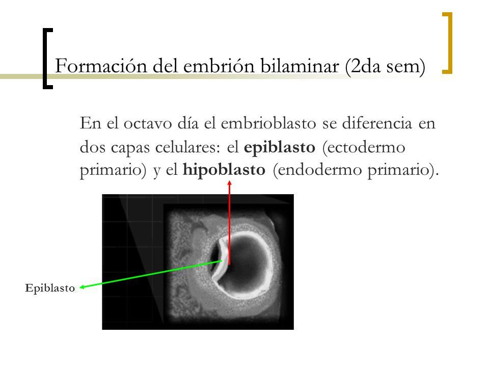 Formación del embrión bilaminar (2da sem)