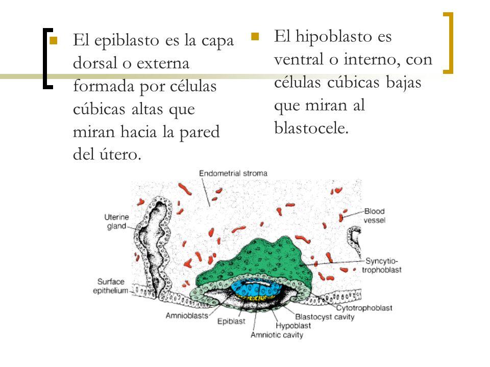 El hipoblasto es ventral o interno, con células cúbicas bajas que miran al blastocele.