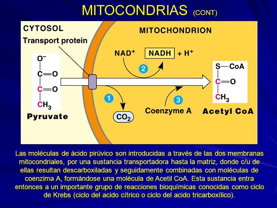 MITOCONDRIAS (CONT)