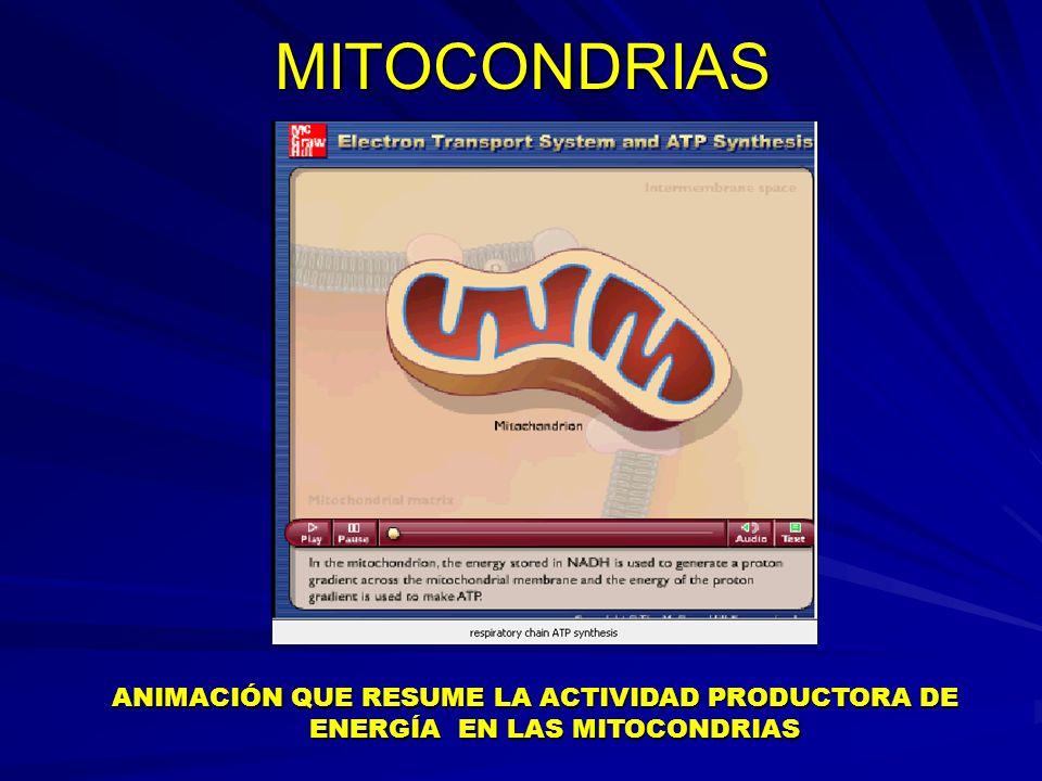 MITOCONDRIAS ANIMACIÓN QUE RESUME LA ACTIVIDAD PRODUCTORA DE ENERGÍA EN LAS MITOCONDRIAS