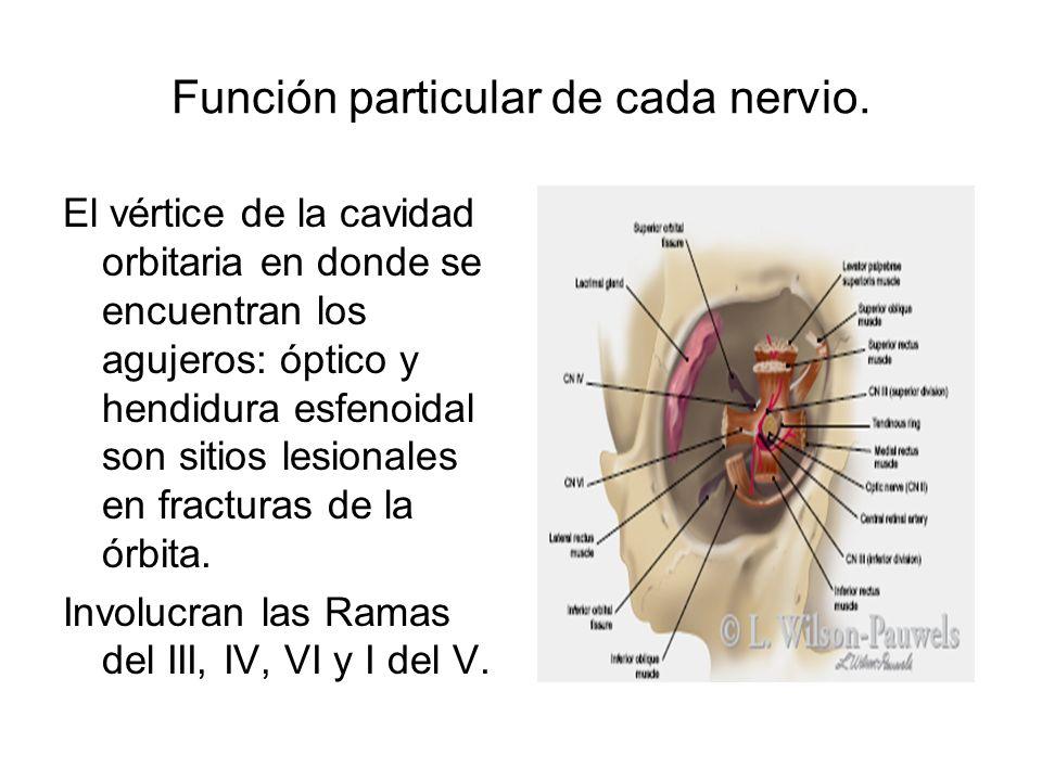 Función particular de cada nervio.