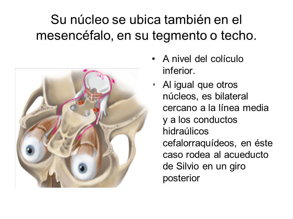 Su núcleo se ubica también en el mesencéfalo, en su tegmento o techo.