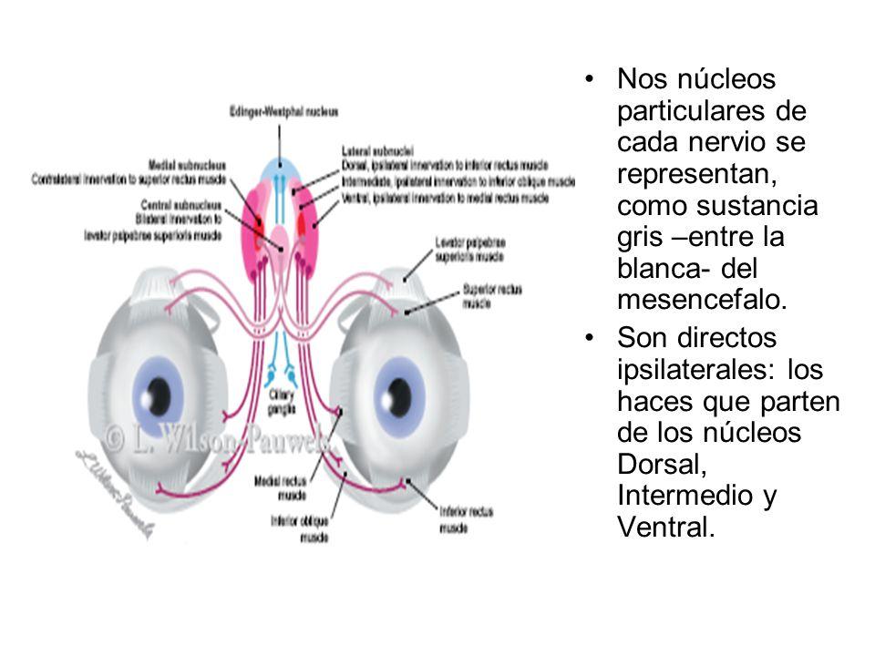 Nos núcleos particulares de cada nervio se representan, como sustancia gris –entre la blanca- del mesencefalo.
