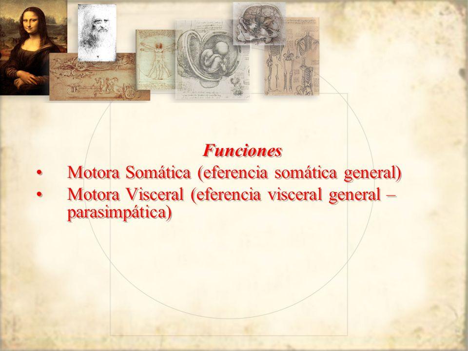 Funciones Motora Somática (eferencia somática general) Motora Visceral (eferencia visceral general – parasimpática)