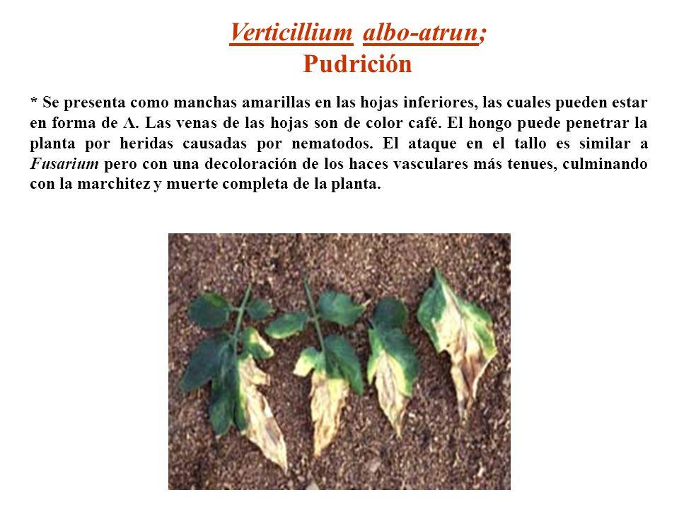 Verticillium albo-atrun;