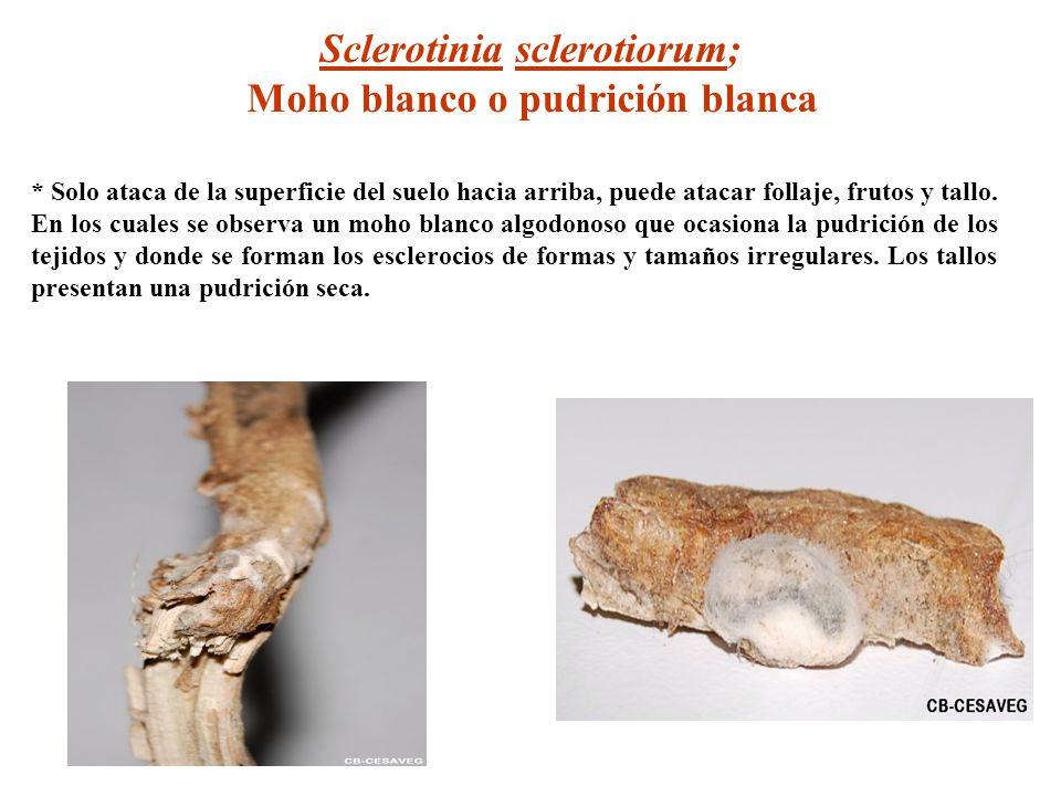 Sclerotinia sclerotiorum; Moho blanco o pudrición blanca