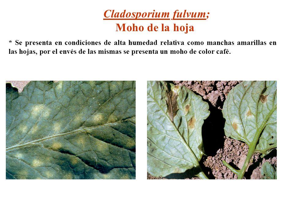Cladosporium fulvum; Moho de la hoja