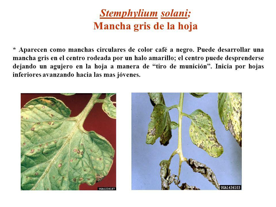 Stemphylium solani; Mancha gris de la hoja