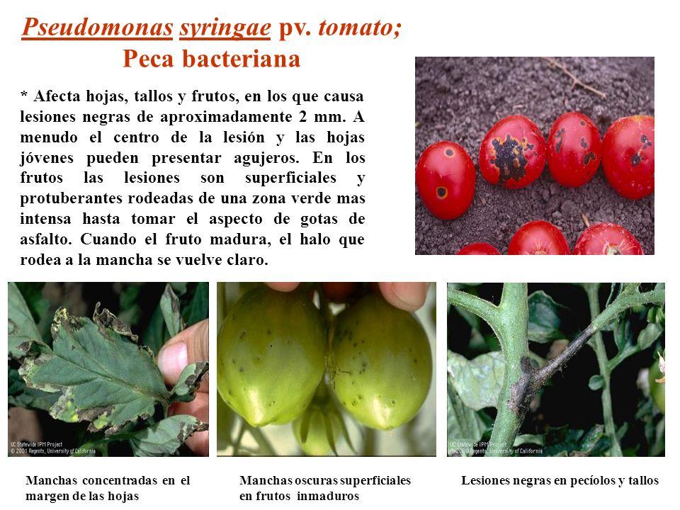 Pseudomonas syringae pv. tomato; Lesiones negras en pecíolos y tallos