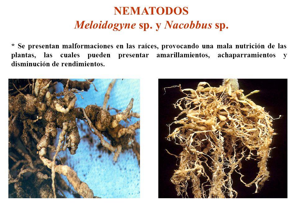 Meloidogyne sp. y Nacobbus sp.