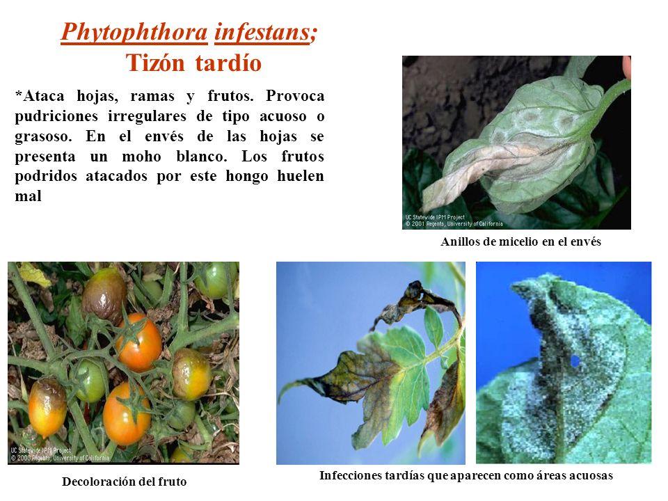 Phytophthora infestans; Tizón tardío