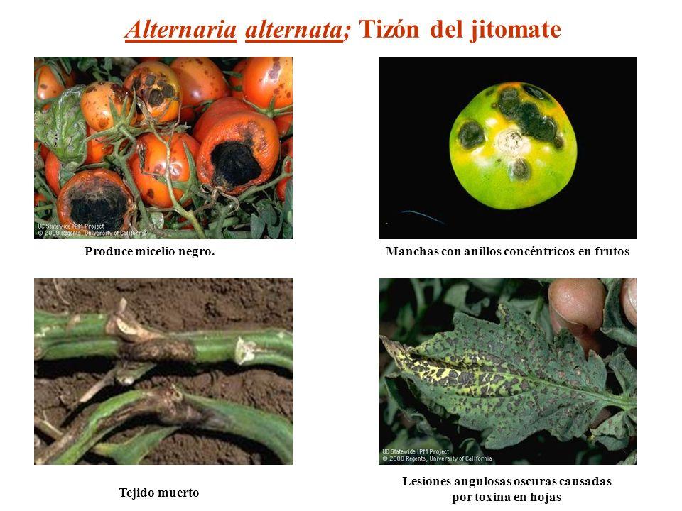 Alternaria alternata; Tizón del jitomate