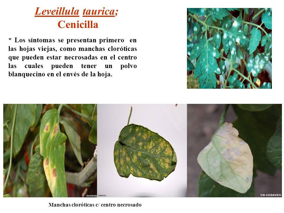 Leveillula taurica; Cenicilla