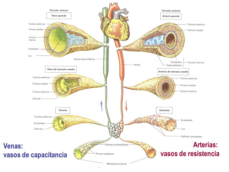 Venas: vasos de capacitancia Arterias: vasos de resistencia