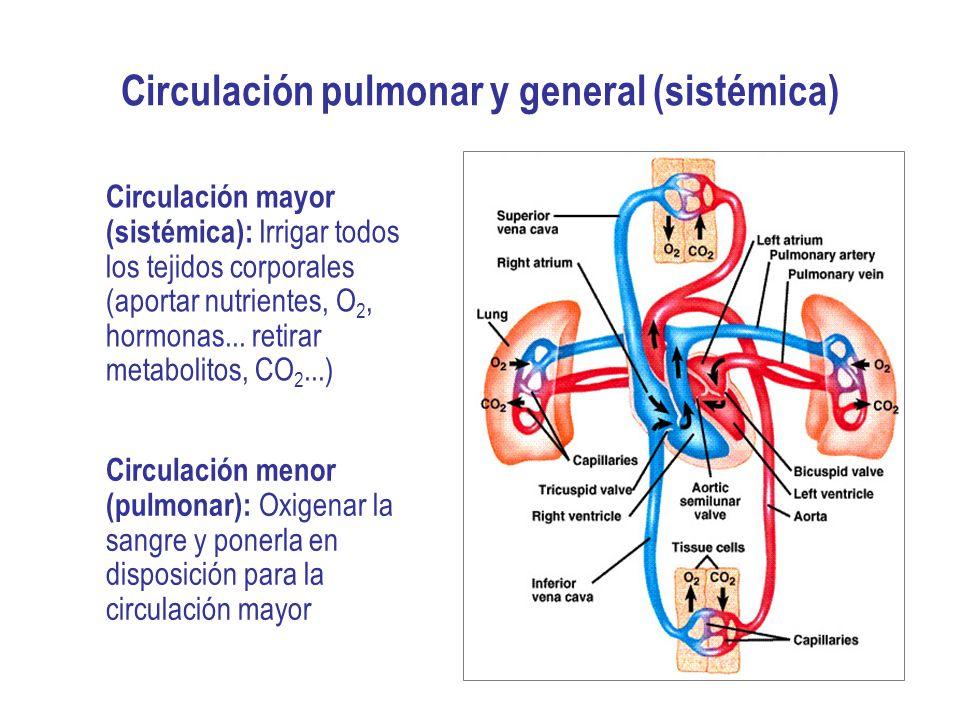 Circulación pulmonar y general (sistémica)