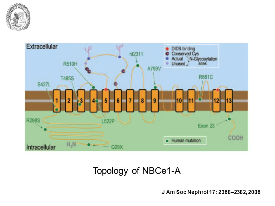 Topology of NBCe1-A J Am Soc Nephrol 17: 2368–2382, 2006