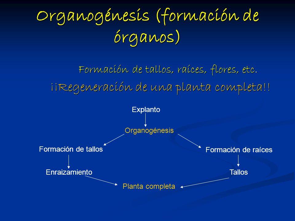Organogénesis (formación de órganos)