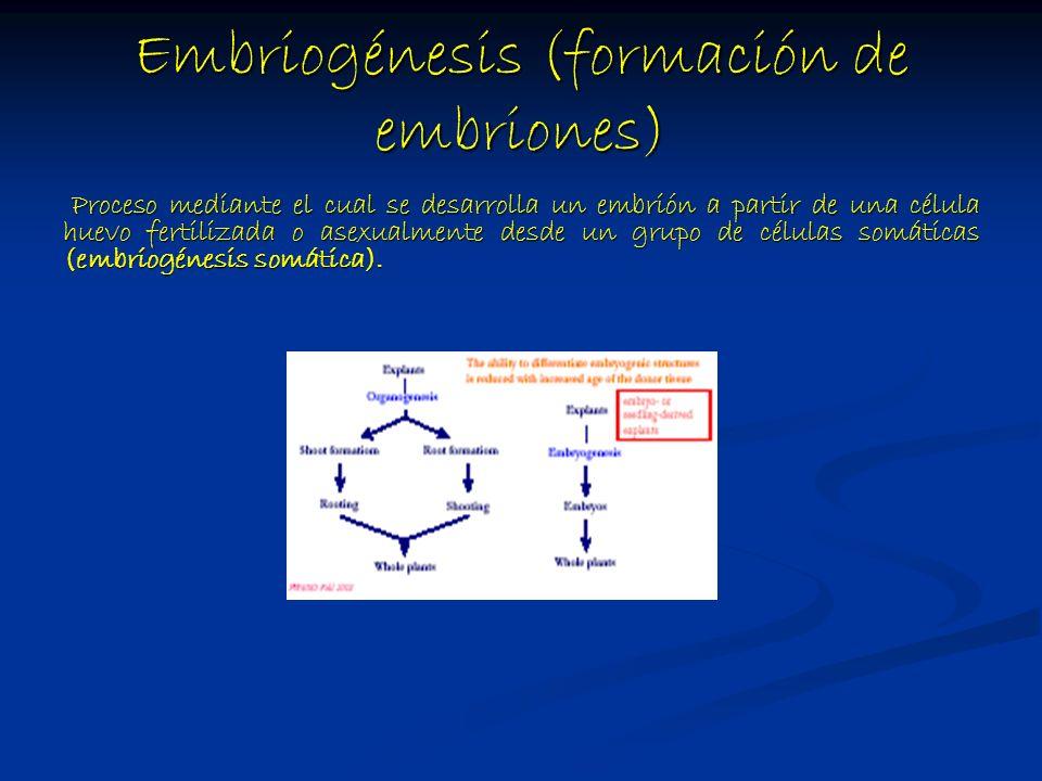 Embriogénesis (formación de embriones)