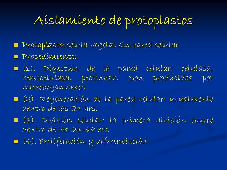 Aislamiento de protoplastos