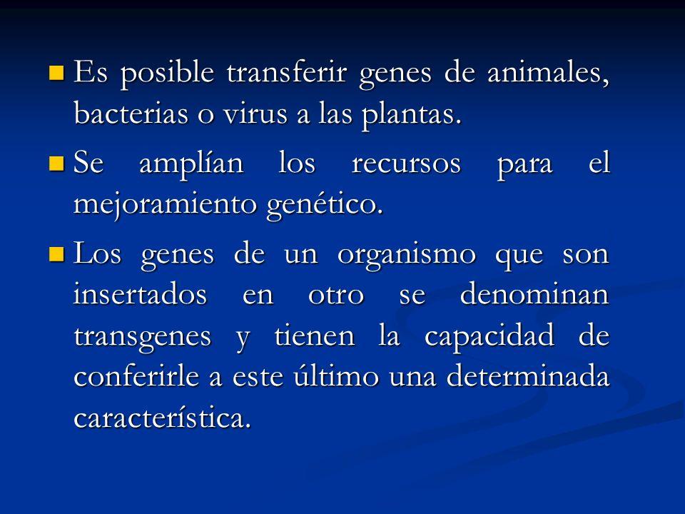 Es posible transferir genes de animales, bacterias o virus a las plantas.