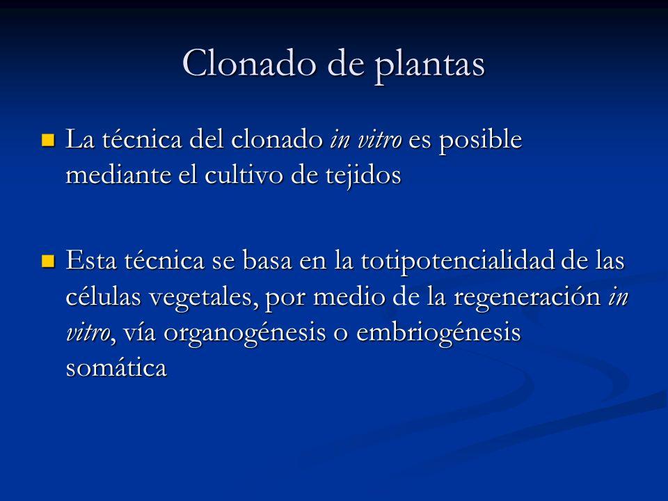 Clonado de plantas La técnica del clonado in vitro es posible mediante el cultivo de tejidos.