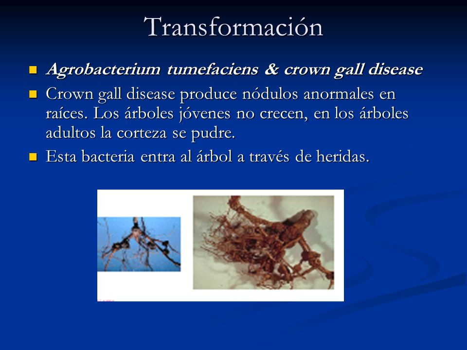 Transformación Agrobacterium tumefaciens & crown gall disease