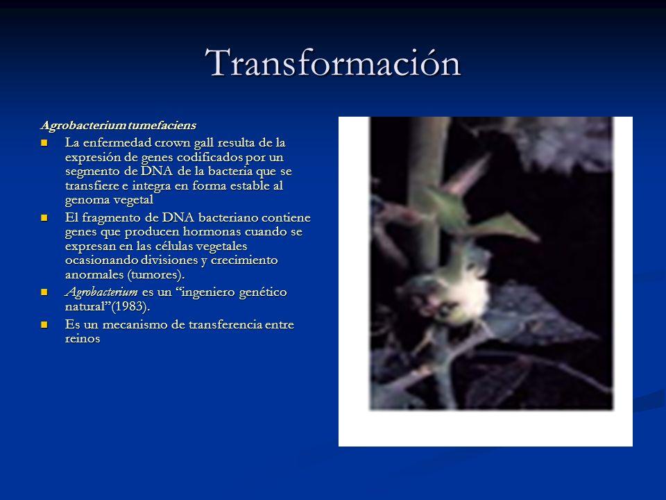 Transformación Agrobacterium tumefaciens.