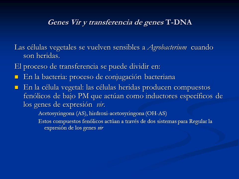 Genes Vir y transferencia de genes T-DNA