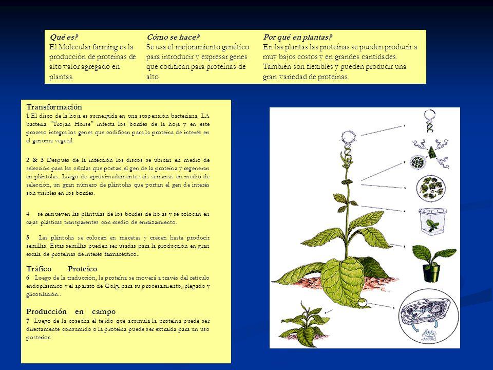 Qué es El Molecular farming es la producción de proteínas de alto valor agregado en plantas.
