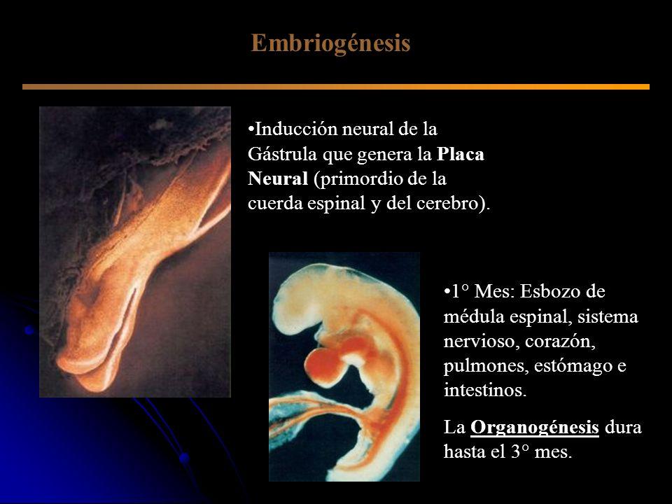 Embriogénesis Inducción neural de la Gástrula que genera la Placa Neural (primordio de la cuerda espinal y del cerebro).