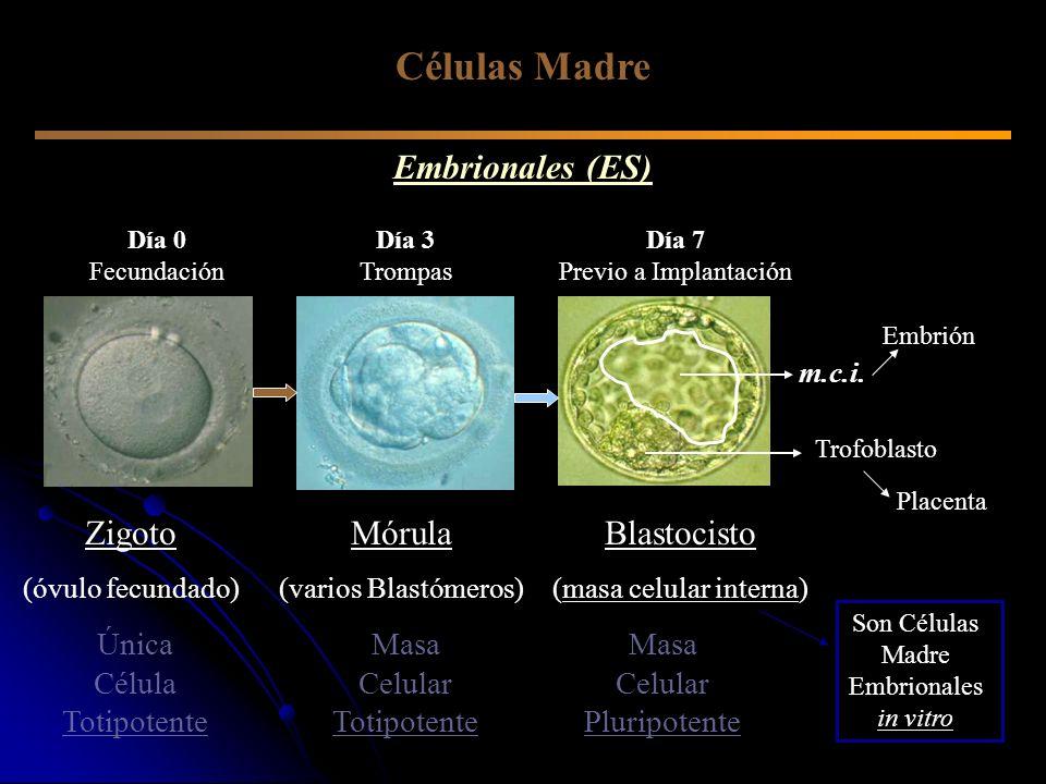 Células Madre Embrionales (ES) Zigoto Mórula Blastocisto